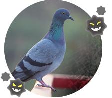 ベランダの鳩